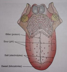 Regions of taste on the tongue
